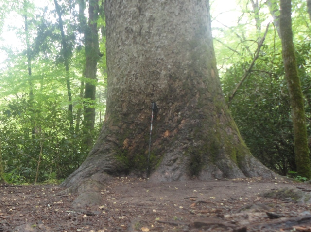Large Poplar on Ramsey Cascades Trail