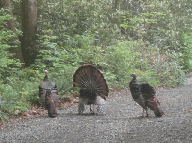 Wild Turkeys - Brushy Mountain Trail