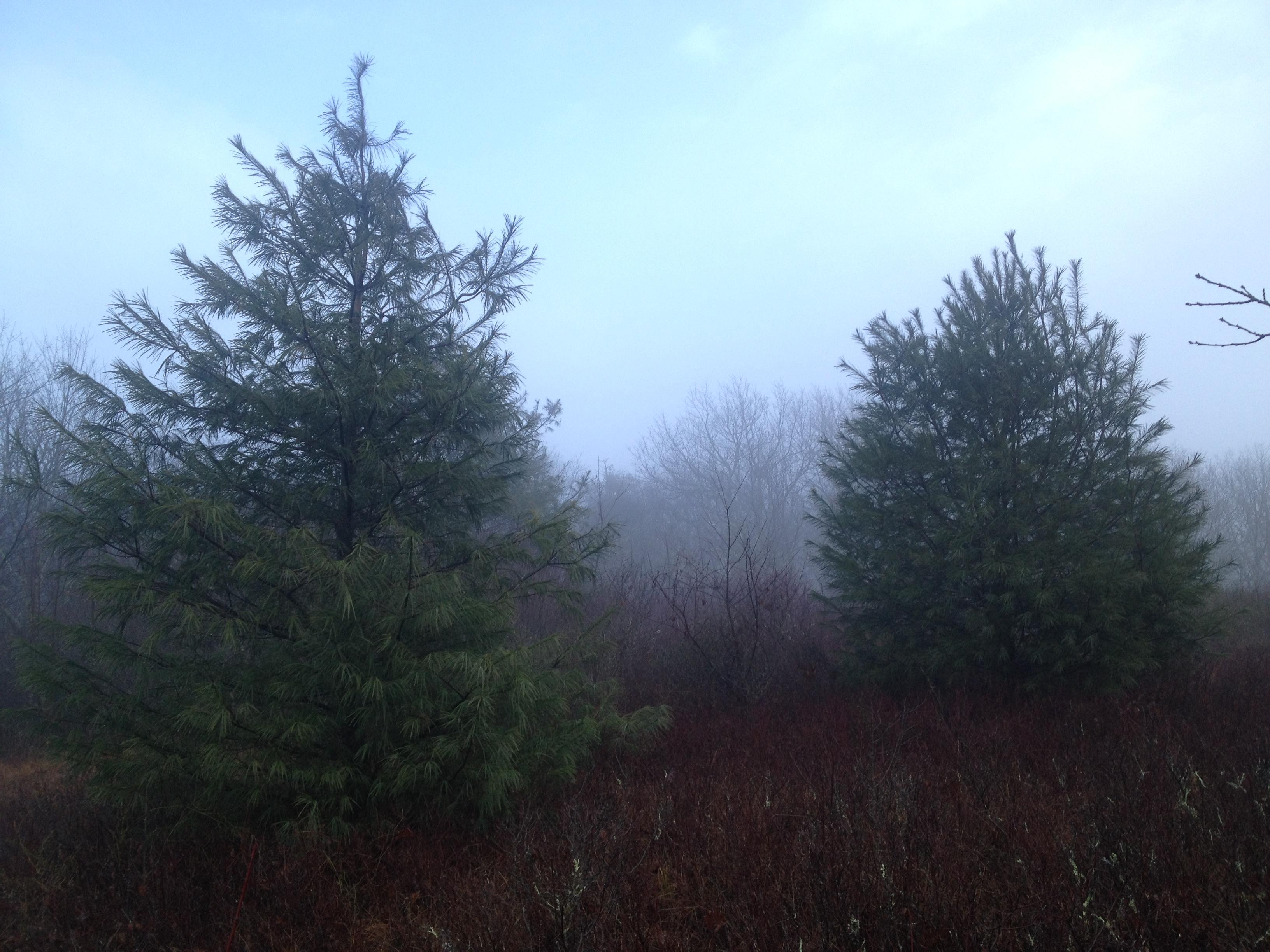 White Pines on Parson's Bald
