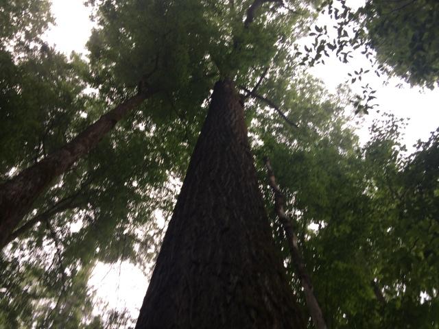 Giant Poplar on Hemphill Bald Trail