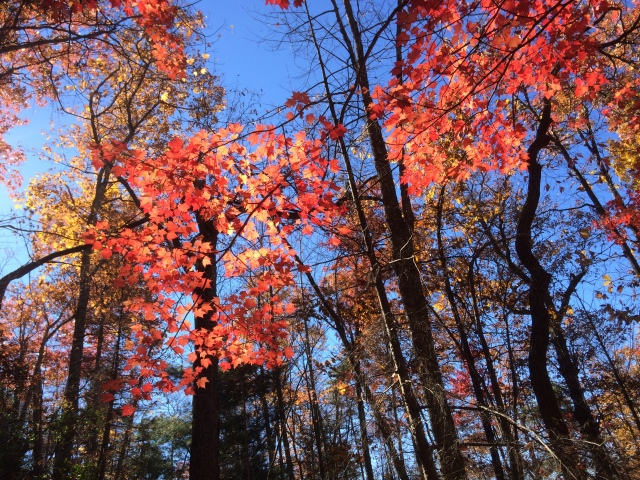 In November there were still areas with beautiful fall color. Some of the best were along Little Greenbrier Trail, Crooked Arm trail, and the lower part of Sugarlands trail.