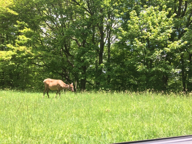 Female Elk grazing along road to Heintoga somewhere around Black Camp Gap