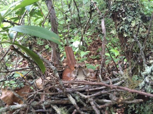 Bird nesting in Mountain Laurel. Lakeshore Trail.