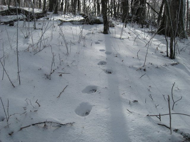 Bear Tracks off Gregory Bald Trail